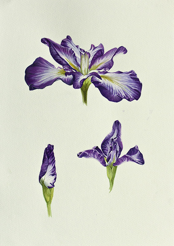 iris paint illustration