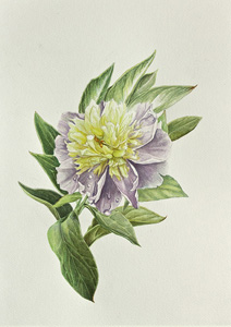 peony paint illustration